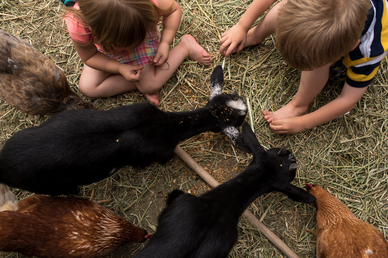 feeding chickens and goats